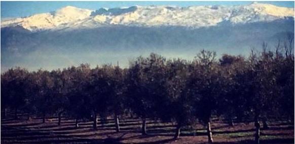 Olive Location